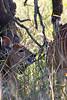 Nyala (Tragelaphus angasii)