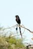 Magpie shrike or Long-tailed shrike (Corvinella melanoleuca)