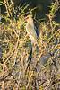 Red-faced mousebird (Urocolius indicus)