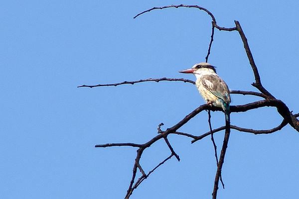 Family: Dacelonidae (dacelonid kingfishers)