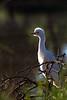 Cattle egret (Bubulcus ibis) - Juvenile