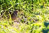 Green-winged pytilia or Melba finch (Pytilia melba) - Female