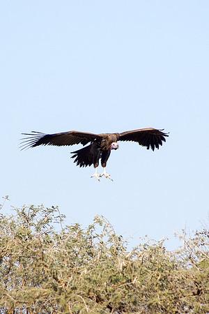 Lappet-faced vulture (Aegypius tracheliotos)