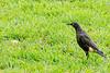 Pied starling (Spreo bicolor)