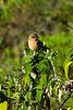 African stonechat (Saxicola torquatus) - Female