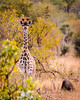Young Giraffe at Ngala