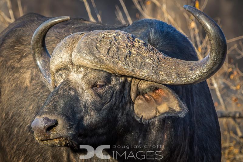 Buffalo Stink-eye