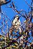Acacia pied barbet or Pied barbet (Tricholaema leucomelas)