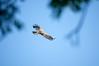 Yellow-billed kite (Milvus parasitus)