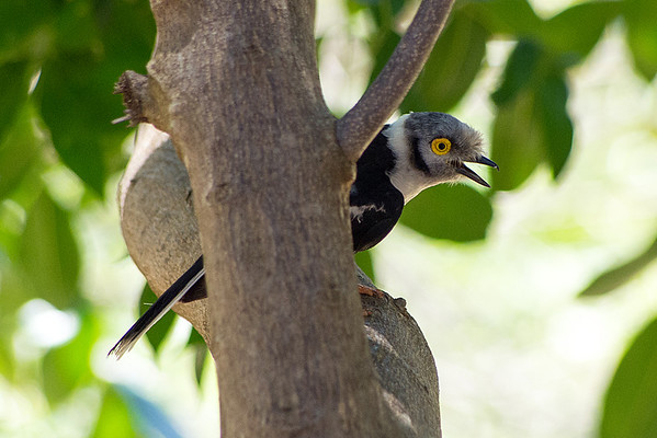White-crested helmet-shrike or White helmet-shrike (Prionops plumatus)