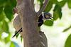 White-crested helmet-shrike or White helmet-shrike (Prionops plumatus)