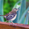 White-browed scrub-robin (Cercotrichas leucophrys)