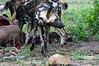 Wild Dog and Kudu Kill
