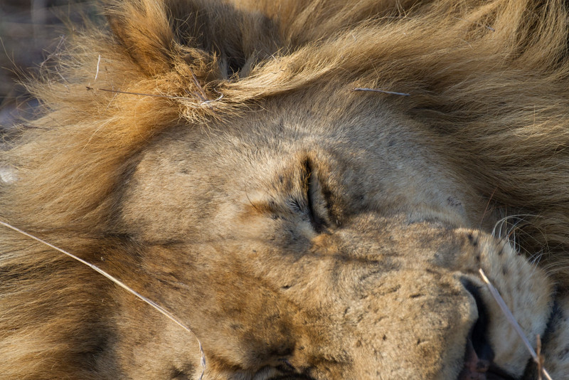 Sleeping lions lie
