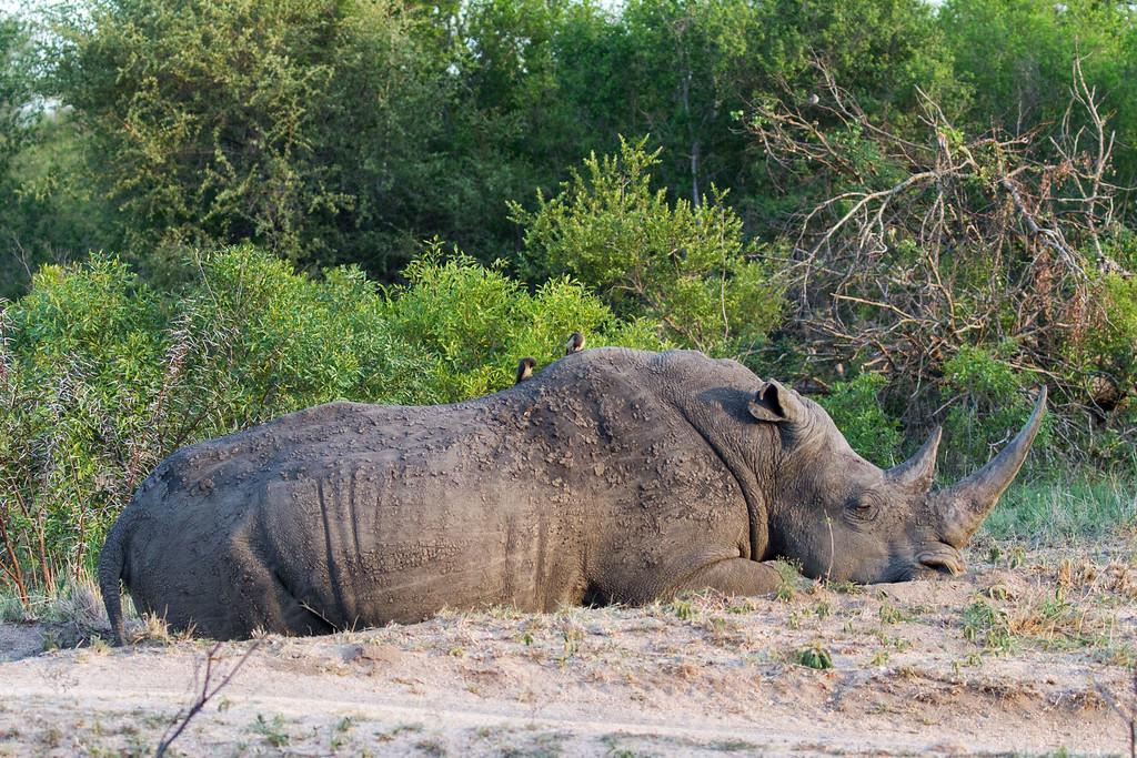 slumbering rhino