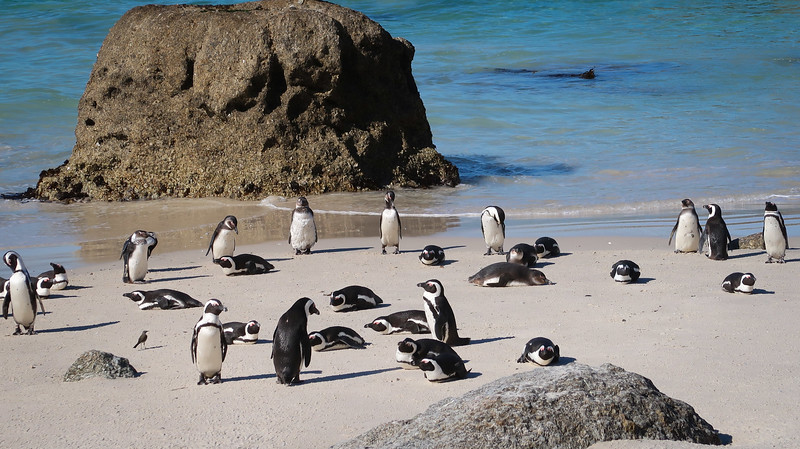Penguins enjoying Boulders Beach.