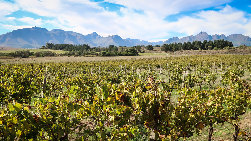 The vineyards at Spier Wine Farm in Stellenbosch.