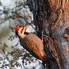 Bearded Woodpecker (male)