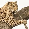 senegal Bush Male, leopard