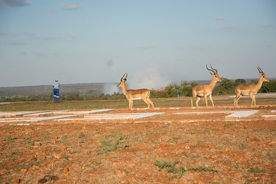 Impala, with mist from Victoria Falls in the background