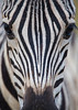 The face of a plains zebra (Equus quagga). Taken in the Hluhluwe Game Reserve, South Africa, Africa.