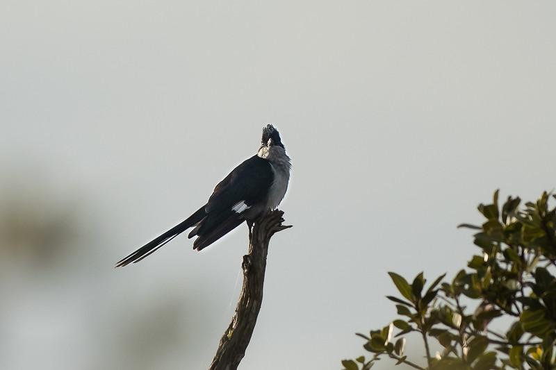 Jacobin Cuckoo