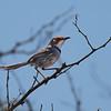 Rufous-eared Warbler