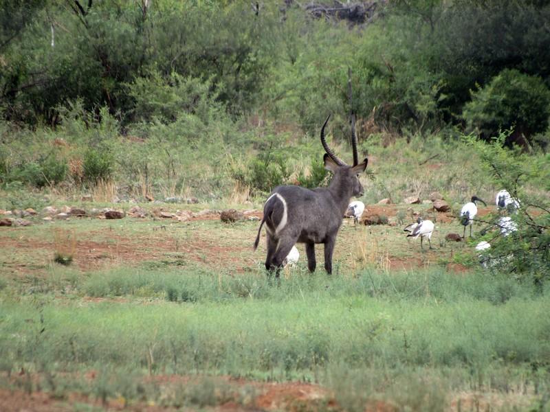 African water buck.
