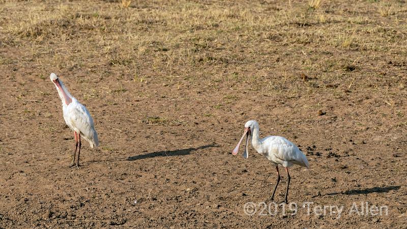 African spoonbills (Platalea alba) near a water hole, Mabula, South Africa