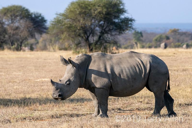 Baby white rhino (square-lipped rhinocerus, Ceratotherium simum) in dried grass, Mabula, South Africa