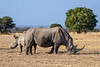 White rhino (square-lipped rhinocerus, Ceratotherium simum) and baby, Mabula, South Africa