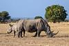 White rhino (square-lipped rhinocerus, Ceratotherium simum) and baby, Mabula, South Africa