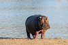 Hippo (Hippopotamus amphibius) on the lake bank near sunset, Mabula, South Africa