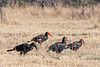 Family of southern ground hornbills (Bucorvus leadbeateri) with a jubenile, Mabula, South Africa