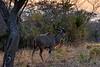 Male kudu with large horns at sunset, Mabula, South Africa