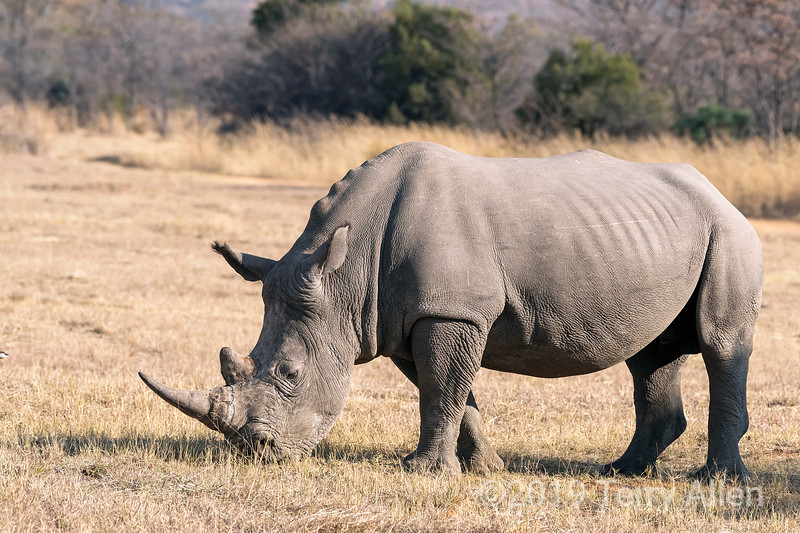 Sub-adult white rhino (6-7 years old) grazing on dead grass, Mabula, South Africa