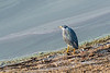 Sriated heron (Butoriden striata) beside a water hole, Mabula, South Africa