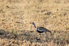 Black bellied bustard (Lissotis melanogaster) in the dried grass, Mabula, South Africa