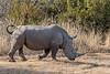 White rhino taking a walk, Mabula, South Africa
