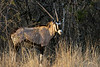 Gemsbok (Oryx gazella) in the bushes at sunset, Mabula Game Reserve, South Africa