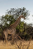 Masai giraffe (Giraffa camelopardalis tippelskirchii) in the bush catching the late day sun, Mabula, South Africa