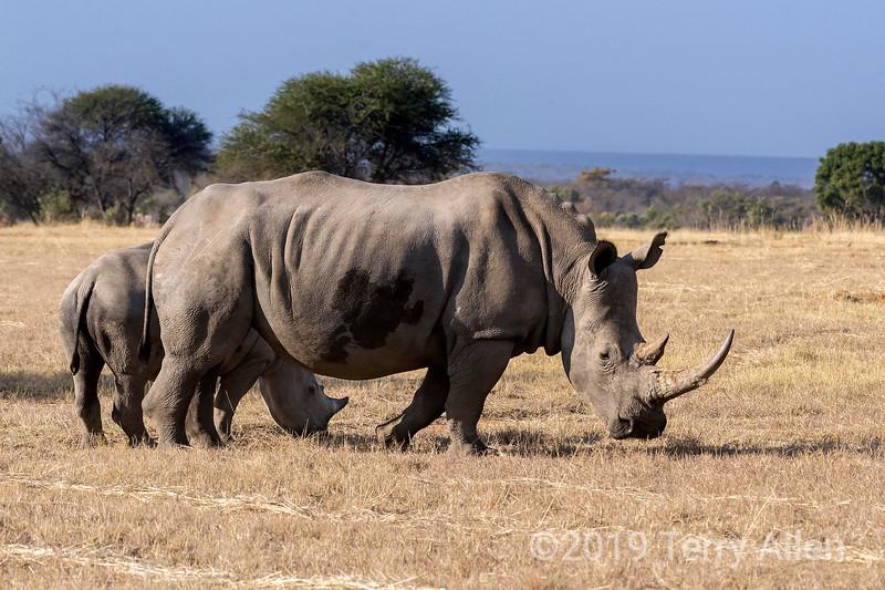 White rhino (square-lipped rhinocerus, Ceratotherium simum) grazing with her baby, Mabula, South Africa