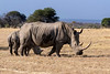 White rhino (square-lipped rhinocerus, Ceratotherium simum) grazing with her baby, Mabula, South Africa