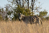 Plains zebra (Equus quagga) in the tall golden grasses near sunset, Mabula, South Africa