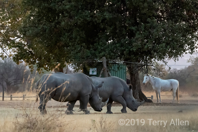 Horse surprised as two white rhinos walk by its stables, Mabula, South Africa