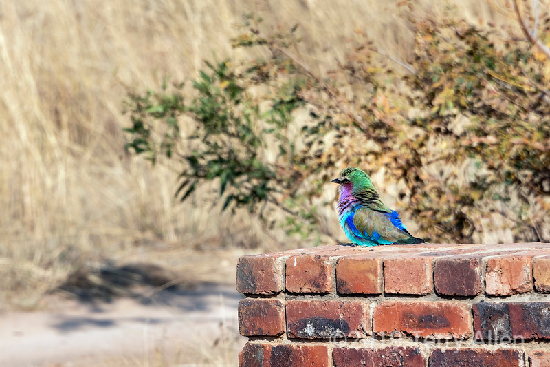 Lilac breasted roller sitting on a road marker, Mabula, South Africa