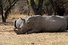 Dehorned white rhino resting with others, Mabila, South Africa