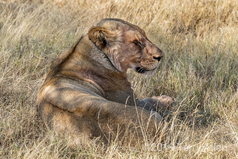 Lioness sleeping in the tall dry grass, Mabula, South Africa