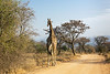 The road less travelled, giraffe walking along a dirt road, Mabula, South Africa