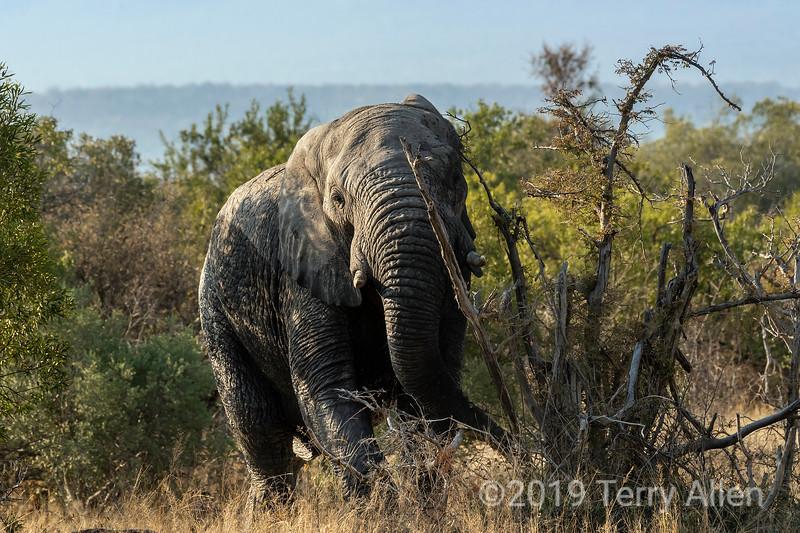 Bad-tempered elephant